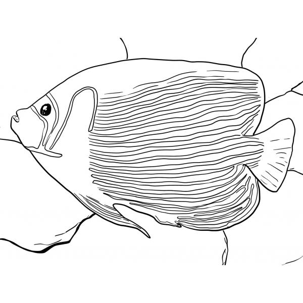 7 Disegni Del Pesce Angelo Da Colorare E Stampare