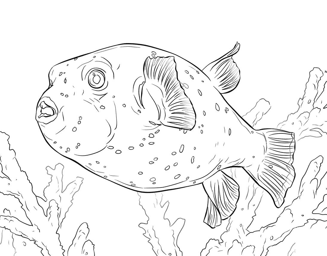 6 disegni pesce palla da colorare per bambini for Disegni di pesci da colorare e stampare